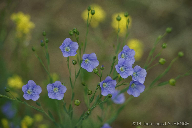 Fleurs de lin